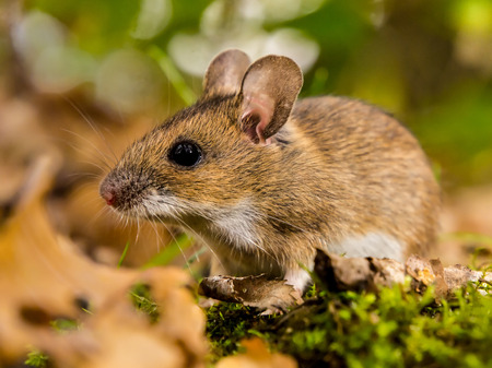 yellow necked mouse in natural habitat Stock Photo