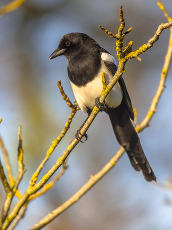 Eurasian magpie or common magpie (Pica pica) looking down from branch lit by setting sun with blue sky in background