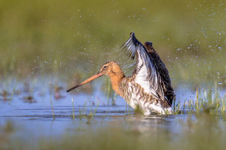 Black-tailed Godwit (Limosa limosa) wader bird flapping off water drops after bathing in shallow water of wetland in the Netherlands