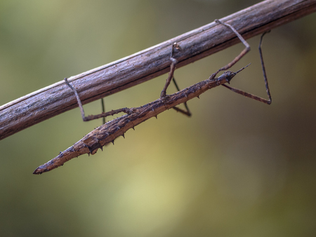 New Zealand Stick insect (Clitarchus hookeri) resting on branch