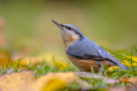 Eurasian Nuthatch (Sitta europaea) in backyard lawn with leaves in autumn colors Foto de archivo