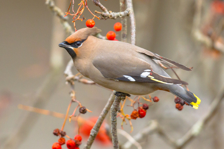 The Bohemian waxwing (Bombycilla garrulus) is a starling-sized passerine bird that The Bohemian Waxwing is an irregular winter visitor from the far North. Stock Photo
