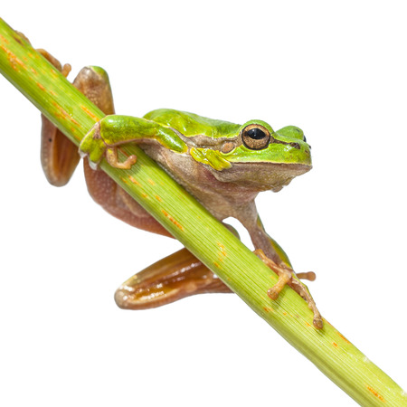 Cute Tree Frog (Hyla arborea) climbing in a diagonal green stick, isolated on white background
