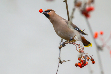 The Bohemian waxwing (Bombycilla garrulus) is a starling-sized passerine bird that feeds on berries during winter migration. With berry in beak. Stock Photo