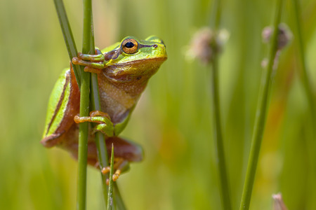 Side view of Tree frog (Hyla arborea) climbing in common rush (juncus effusus) and looking in camera