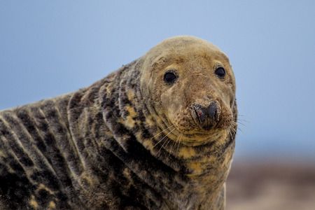 Portrait of Grey seal (Halichoerus grypus) on beach with ocean in background
