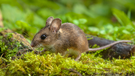 Cute Wild Wood mouse (Apodemus sylvaticus) walking on the forest floor with lush green vegetation Фото со стока