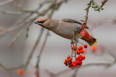 The Bohemian waxwing (Bombycilla garrulus) is a starling-sized passerine bird that breeds in the northern forests of Eurasia and North America and migrates south in winter