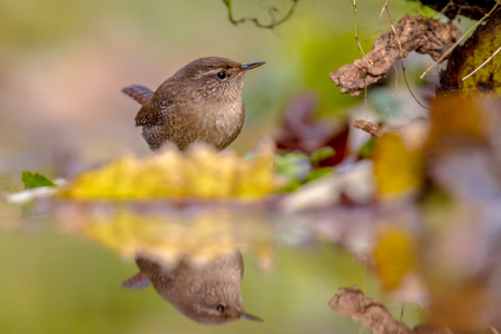 Eurasian wren (Troglodytes troglodytes) with reflection in water and autumn colored leaves