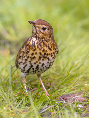 Song Thrush (Turdus philomelos) foraging in backyard lawn and looking in camera with one eye from green grass background
