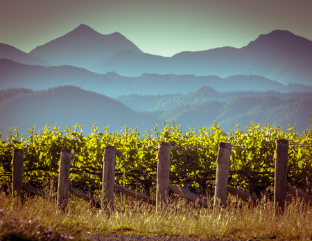 View of vineyard with misty mountains background at sunset in Marlborough region New Zealand Archivio Fotografico