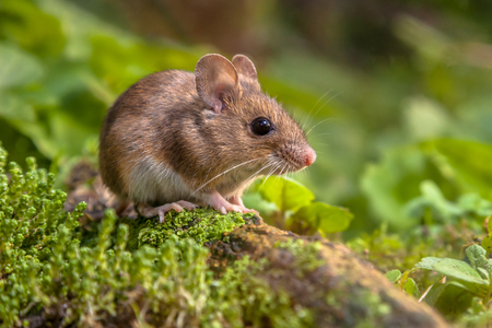 Cute Wild Wood mouse resting on a stick on the forest floor with lush green vegetation