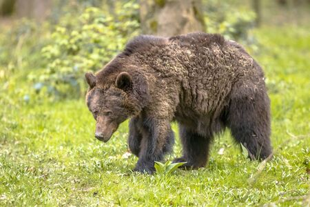 European brown bear ((Ursus arctos) foraging in forest habitat. This is the most widely distributed bear and is found across much of northern Eurasia and North America. Stock Photo