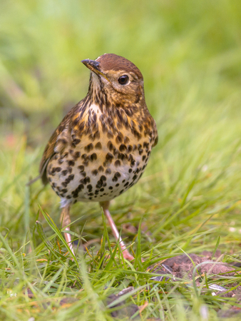 Song Thrush (Turdus philomelos) foraging in backyard lawn and looking cute with green grass background