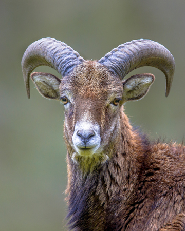 Portrait of Frontal view of male Mouflon (Ovis gmelinii) sheep standing on a hill in the forest and looking at camera with eye contact
