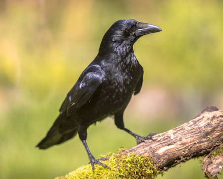 Black Carrion Crow (Corvus corone) perched on mossy log and looking for food on sunny day