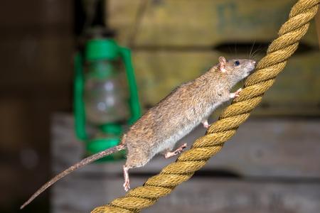Rata marrón salvaje (norvegicus de Rattus) que camina en la cuerda del ancla en la configuración del almacén del puerto