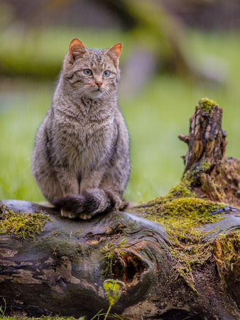 European wild cat (Felis silvestris) with distinctive striped and black tipped tail