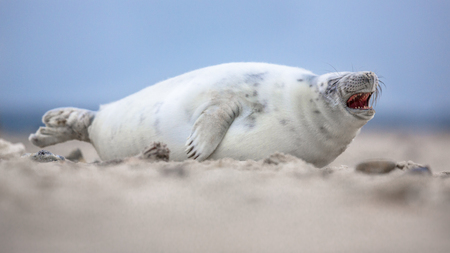 Comical laughing baby harbor seal (Phoca vitulina) yawning on beach with ocean in background
