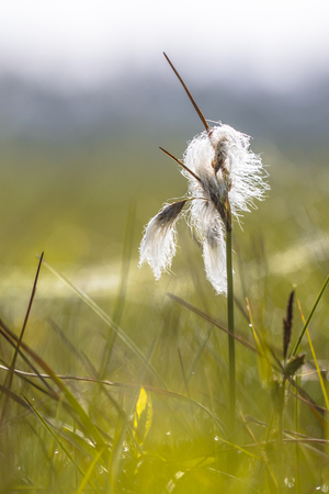 Common cottongrass (Eriophorum angustifolium) close up with habitat environment in background Stock Photo