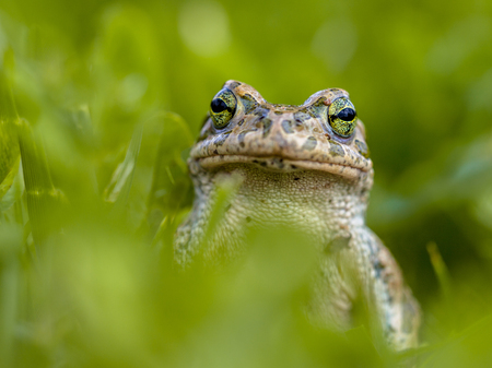 Daring Green toad (Bufotes viridis) peeking from behind grass in a backyard lawn
