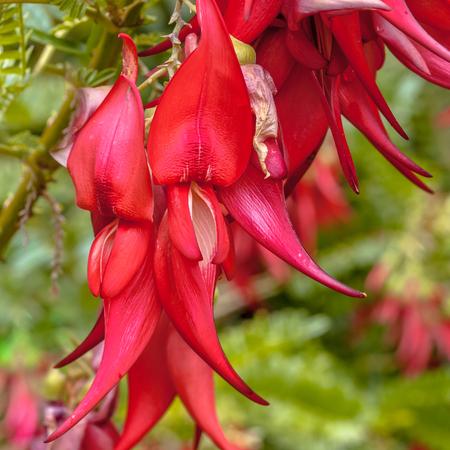 Flores de Kakabeak ameaçadas de extinção (Clianthus puniceus). Esta espécie de planta é nativa e endêmica da nova zelândia