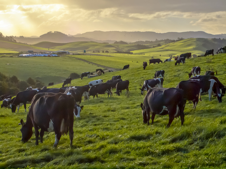 Grazing cows in green meadow of hilly countryside during sunset in new zealand