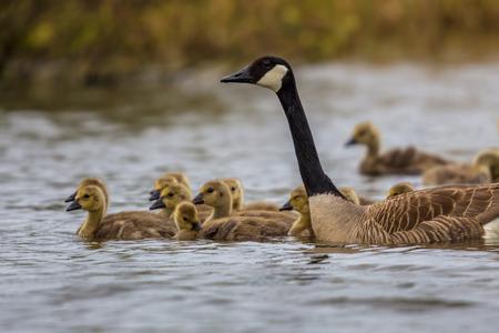 Canada goose (Branta canadensis) guarding chicks alert for danger