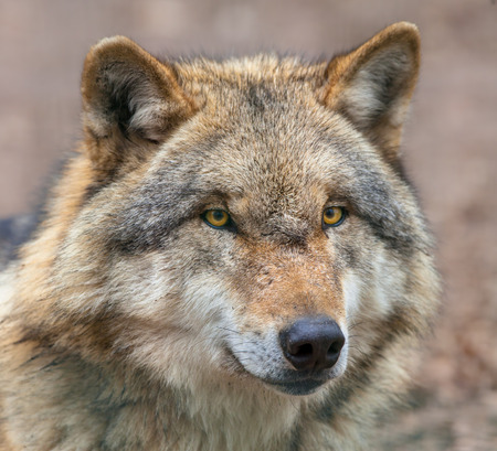 Close up Head of Eurasian Gray Wolf (Canis lupus lupus) is the most specialised member of the genus Canis, as demonstrated by its morphological adaptations to hunting large prey, its more gregarious nature, and its highly advanced expressive behavior.