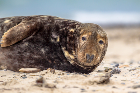 Portrait of Grey seal (Halichoerus grypus) on beach with ocean in background looking in camera