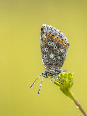 Chalkhill blue (Polyommatus coridon) butterfly on flower with dew drops and bright colored background Archivio Fotografico