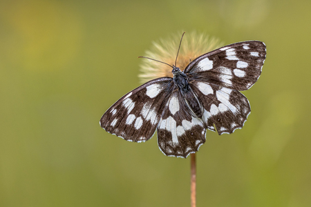 Marbled white (Melanargia galathea) butterfly on flower with green background Stock Photo