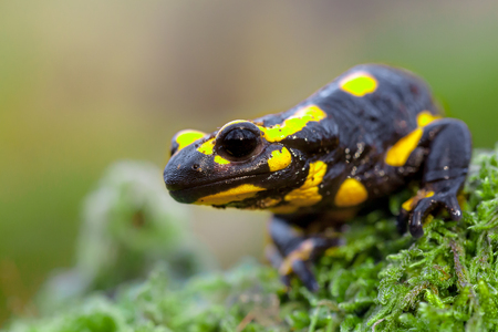 Fire salamander newt  (Salamandre salamandre) looking in camera. They live in central European old deciduous forests and are more common in hilly areas with lots of dead wood.