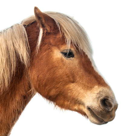 Horse head on white background. A proud animal with prominent colors and brown skin.