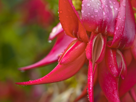 Kakabeak flowers (Clianthus puniceus). This endangered plant species is native and endemic to new zealand