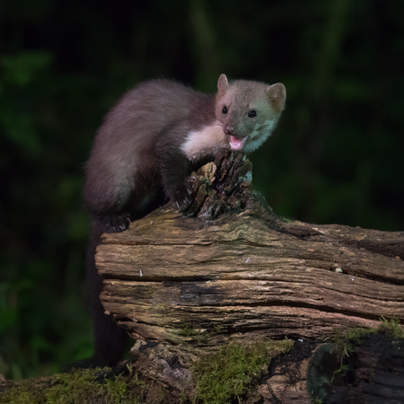Elusive Wild Beech marten (Martes foina) on log in natural habitat at night. This small nocturnal predator is indispensable for the ecological balance in an ecosystem Stock Photo