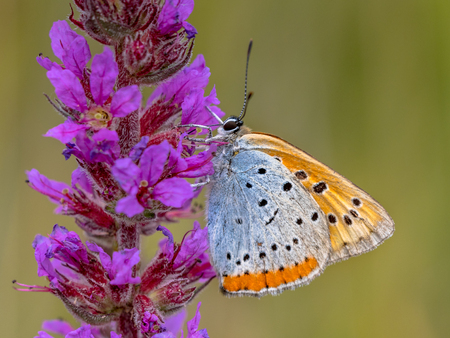 Large copper (Lycaena dispar) endemic butterfly of the Netherlands foraging nectar on flowers of purple loosestrife (Lythrum salicaria)