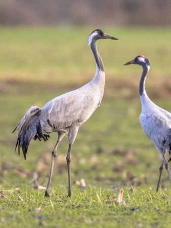 Two Eurasian Cranes (Grus grus) in green grass field and looking in camera bird in background Stock Photo