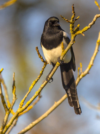 Eurasian magpie or common magpie (Pica pica) looking right on branch lit by setting sun with blue sky in background Stock Photo