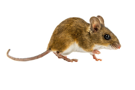 Curious walking Wood mouse Sideview (Apodemus sylvaticus) with cute brown eyes walking on white background