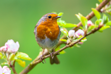 A red robin (Erithacus rubecula) in between white fruit blossom buds as a concept for springtime