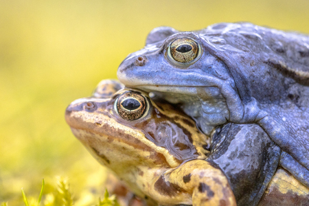 Moor frog (Rana arvalis) couple in amplexus mating position in the reproduction season
