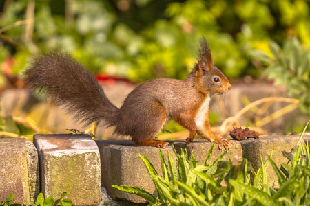 Red Squirrel (Sciurus vulgaris) standing on brick garden wall and looking at camera Stock Photo