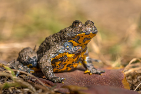 Yellow-bellied toad (Bombina variegata) in grass with blurred background