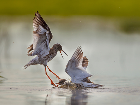 Fighting Common Redshank (Tringa totanus) birds. Solving conflict about territory borders in shallow water 스톡 콘텐츠