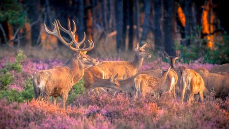 Cerf élaphe mâle (Cervus elaphus) gardant son troupeau de cerfs dans la lande pendant la saison des amours sur le Hoge Veluwe, Pays-Bas