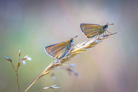 Pair of Essex skipper (Thymelicus lineola) perched on straw in early morning. This is a butterfly in family Hesperiidae. It occurs throughout much of the Palaearctic region.