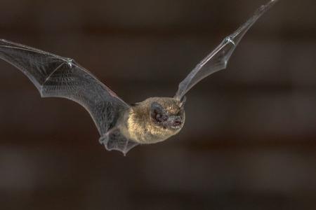 Close up of Pipistrelle bat (Pipistrellus pipistrellus) volant sur le grenier de l'église dans l'obscurité