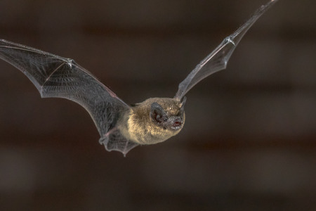 Close up of Pipistrelle bat (Pipistrellus pipistrellus) flying on attic of church in darkness