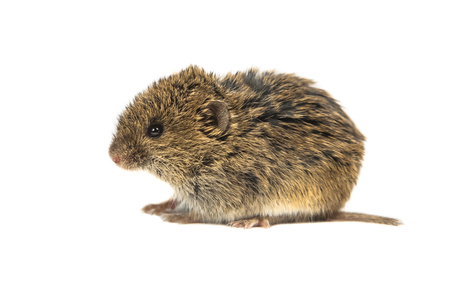 Juvenile Common Vole mouse (Microtus arvalis) isolated on white background 免版税图像